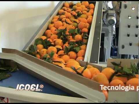 ICOEL Linea lavorazione agrumi con calibratrice a nastro inclinato