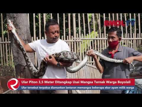 Ular Piton 3,5 Meter Ditangkap Usai Mangsa Ternak Warga Boyolali