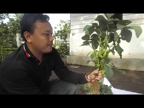Video PANEN EDAMAME 80 POLONG/TANAMAN DI BBLM YOGYAKARTA