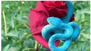 Rare blue snake coils around a red rose, scary video goes viral -Watch