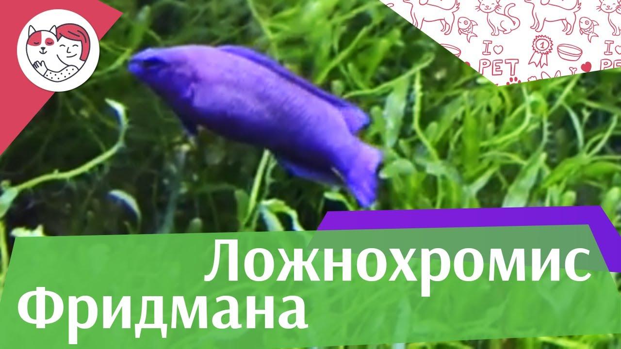 Ложнохромис Фридмана описание на ilikepet