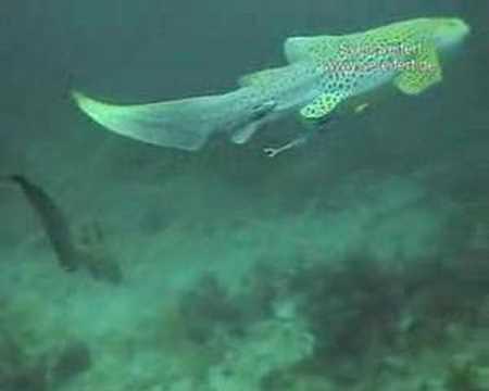 Leopardenhaie, Koh Tachai,Thailand