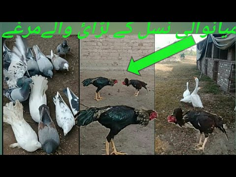 Fighting hens of Mianwali breed! laying hens! different types of pigeons and ducks.