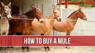 How to Buy a Mule - TvAgro by Juan Gonzalo Angel