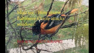 Must see - Baltimore Oriole Attack window