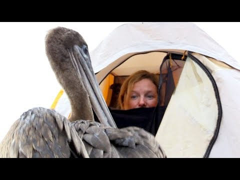 Naughty Pelican Wanders Into a Tent