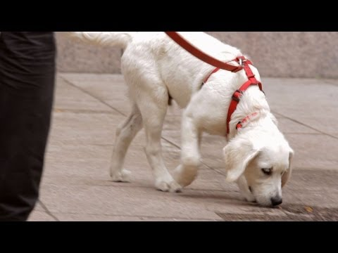 How To Leash Train Your Puppy | Puppy Care