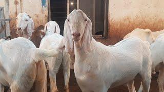 Big Andul Bakre For Sale At Barkat Bhai Farm  - Самые лучшие