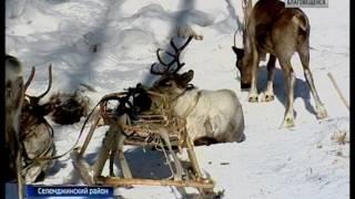 Нашествие волков наблюдается в Амурской области