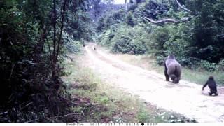 preview picture of video 'a silverback gorilla and his family walking in gabonese forest. Une famille de gorilles à Nyonié'