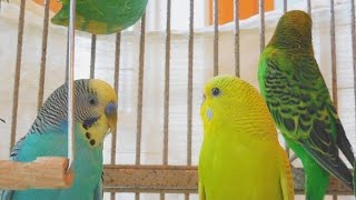 5 Hr Budgies Chirping Parakeets Sounds Reduce stress blood pressure heart disorder hypertension