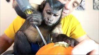 Capuchin Monkey Pumpkin Fun!