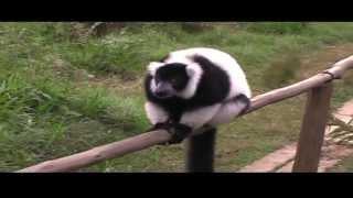 preview picture of video 'Le foreste pluviali;parte 2di2-  parco: Mantadia di Andasibe'