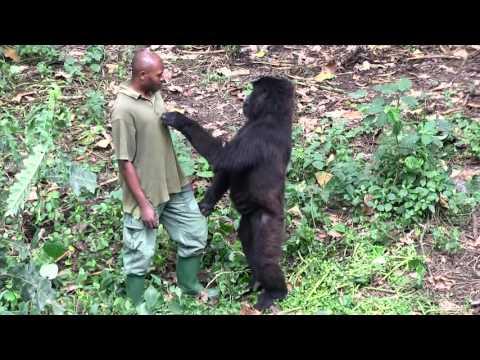 Download Senkwekwe Center Rumangabo Virunga National Park Dr Congo Mp4 HD Video and MP3