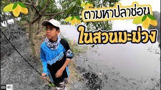 ช่อนบุฟเฟ่ต์ ในสวนมะม่วง   เด็กตกปลา