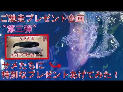 【うみたまご】ご馳走プレゼント企画第三弾!大回遊水槽のサメたちに特別なプレゼントあげてみた!!