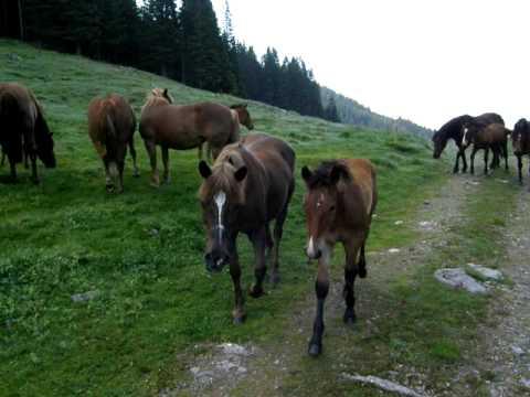 Konji na Golteh