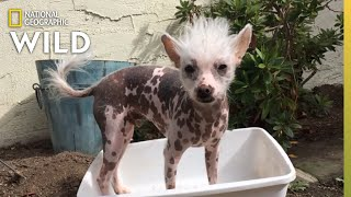 An Emotionally Attached Chinese Crested | Dog: Impossible