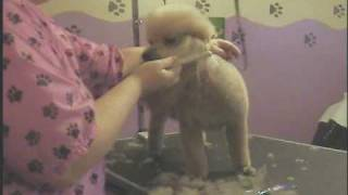 Grooming Miniature poodle (sweet heart clip part 3)