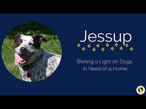 Jessup, an adoptable Australian Cattle Dog / Blue Heeler & German Shorthaired Pointer Mix in Silverdale, WA_image-1