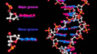 DNA major and minor grooves