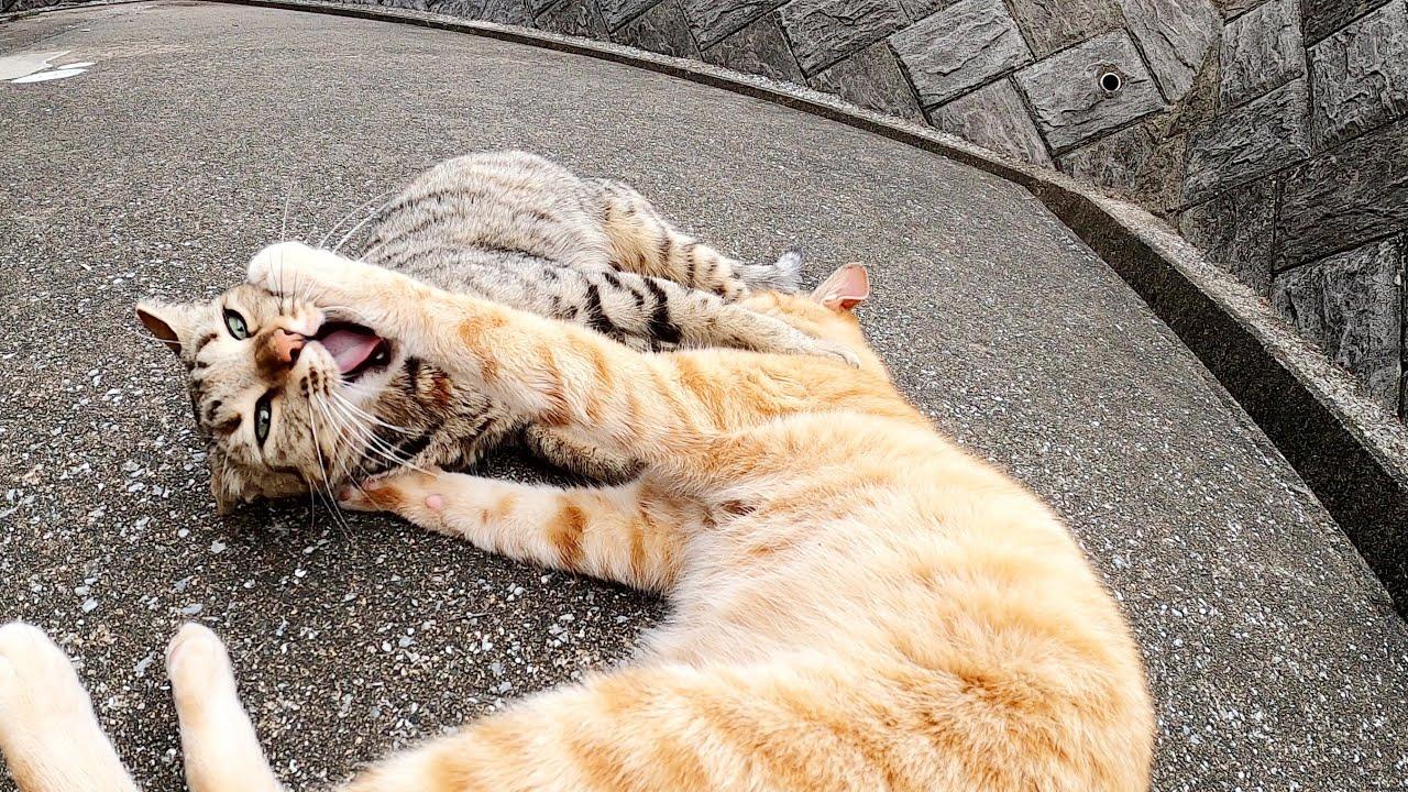 顔を合わせるとプロレスごっこをはじめる仲良し猫コンビ
