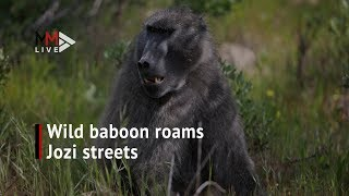 Baboon captured after 'checking in' to Sandton hotel