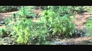 The Swazi Weed