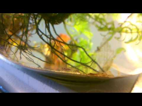 Nematode acquatico