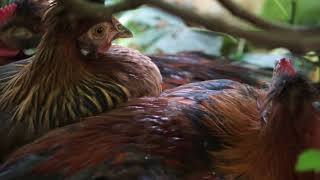 Relaxing Chicken Videos - Young Roosters Growing Up - Chicken and Rooster Sound
