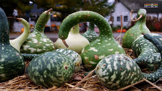 WOW! Amazing Agriculture Technology   Gourd