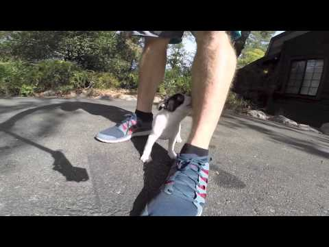 Dominos video - AKC Boston Terrier