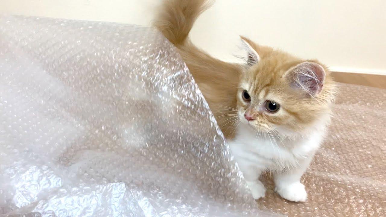 初めてのプチプチに大興奮してしまう子猫【マンチカン】