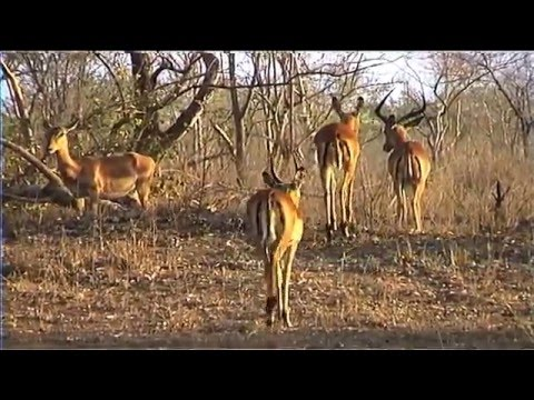 African Wildlife HD