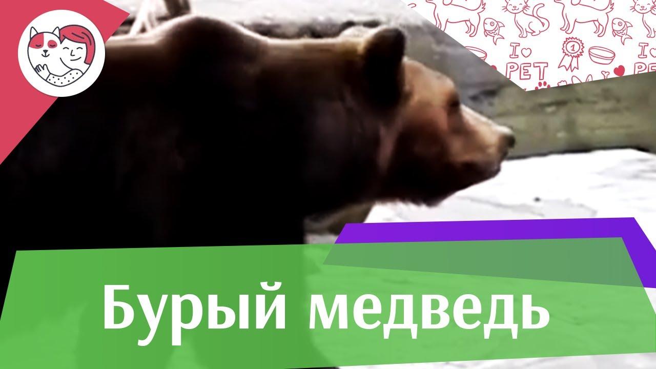 Бурый медведь Поведение на ilikepet
