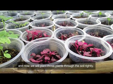 Video Cara Menanam Bayam Merah Dengan Tumpangsari (How To Plant Red Spinach with Inter-crop System