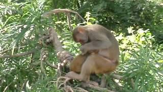 preview picture of video 'Affen bei den Höhlen von Po Win Daung Myanmar (Burma) Dezember 2011 3_3'