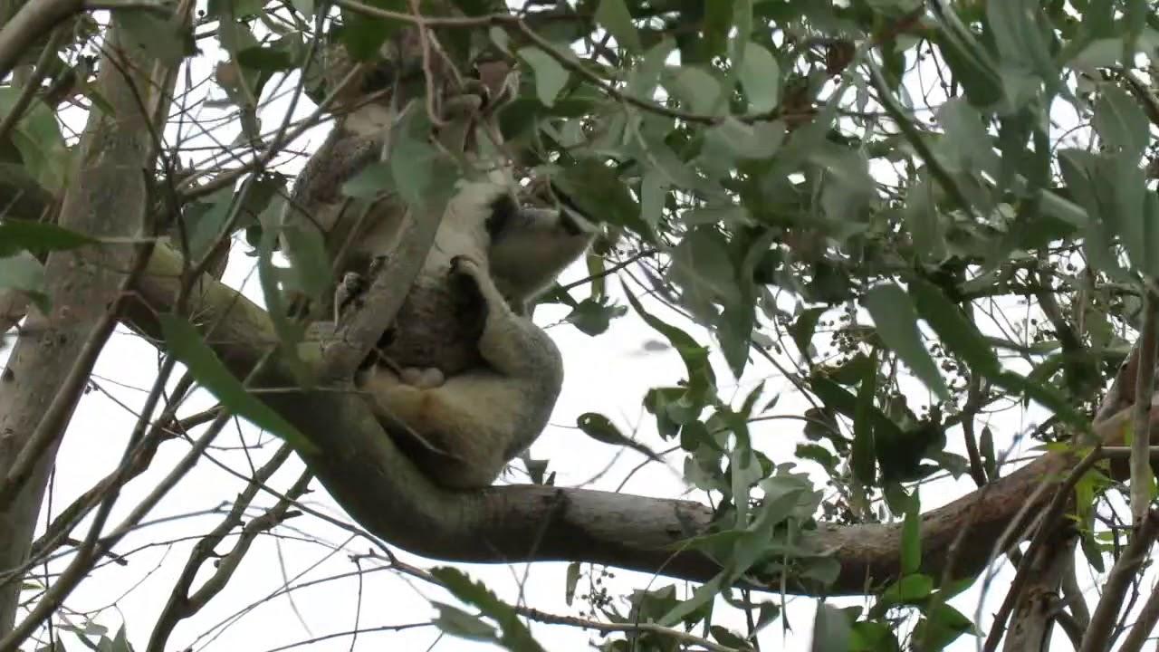 3 trees in a row, 4 koalas