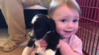 Little Panda Bear Sheepadoodle puppies | Poppins and Banks