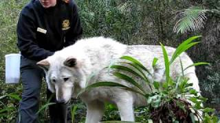 San Diego Zoo - Timberwolf (AZero)