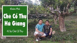 Chè Shan Tuyết Hà Giang – Kí Sự Chè Cổ Thụ – Tập 1