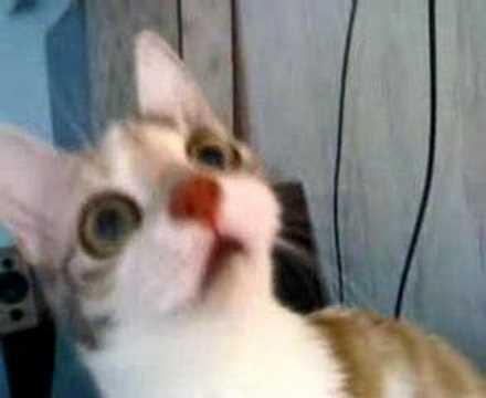 cat eats chicken