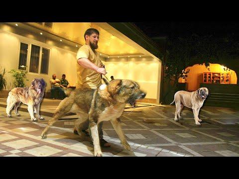 , title : 'Какие собаки охраняют дом Рамзана Кадырова, и его семью.