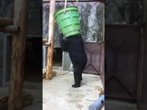 【池田動物園公式】ゴンちゃんの意外な遊び方。