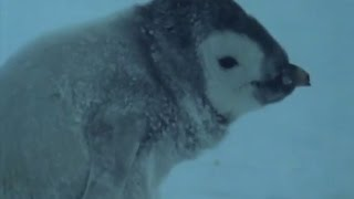 Heartbreaking! Death of an Orphan Baby Penguin | Life in the Freezer | BBC