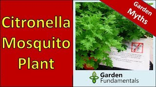 Does the Citronella (mosquito) Plant Repel Mosquitoes?
