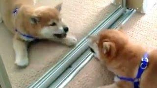 Смешные Собаки лают на себя в Зеркала! Сборник [HD]