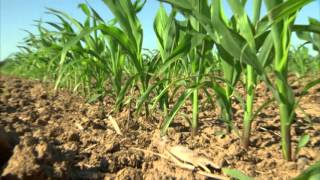 Acuron vs. Corvus herbicide