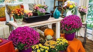 Chrysanthemums 101 - Home & Family