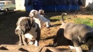 Gotti Pitbull Puppies made with Videoshop